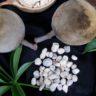 Boab Seeds